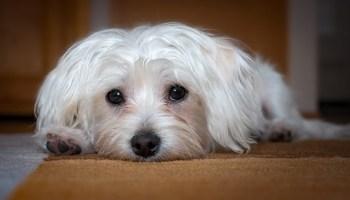 diarrea prostática agrandada del perro
