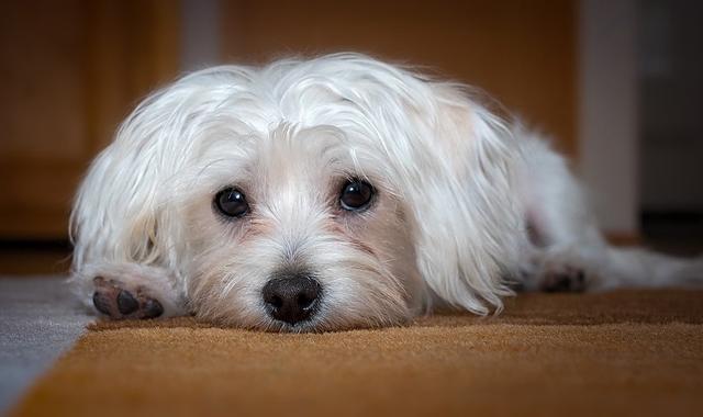 Causas de Diarrea en mi Perro