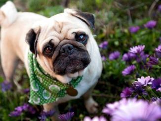 Qué es el Síndrome Braquicefálico en Perros