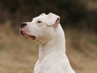 Cuales son las Principales Características Dogo Argentino