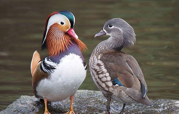 Los patos y sus Características