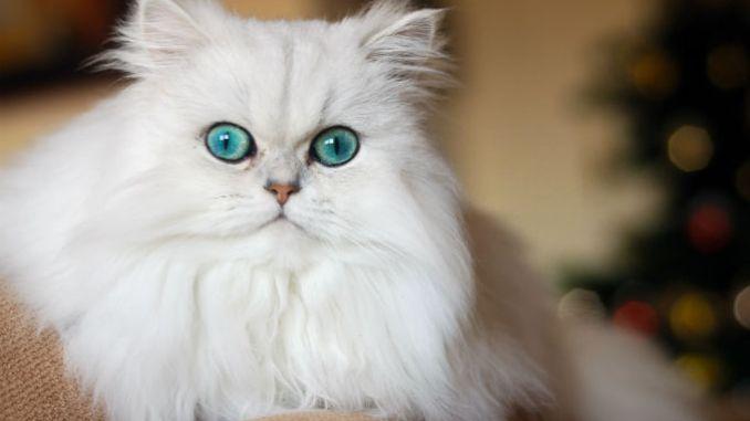 Todas las Razas de Gatos de Pelo Largo