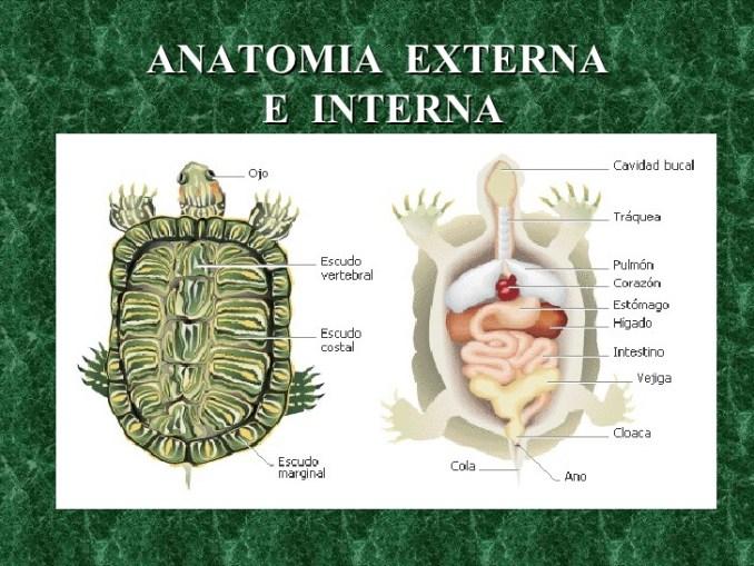 Anatomía y Clasificación de las Tortugas