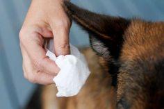 Cómo debemos limpiar el oído del perro