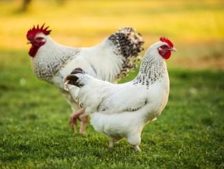 Diferencia entre Pollo y Gallo