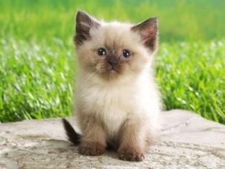 Las razas de gatos más lindas y sus características