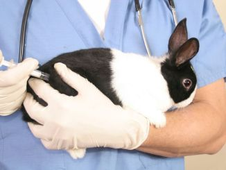 Se Deben Vacunar los Conejos