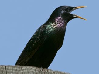 Qué olores pueden no soportar las aves