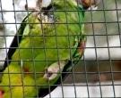 Amazona-Colirroja-(5)