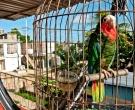 Amazona-Cubana-(11)