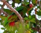 Amazona-Cubana-(13)