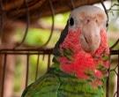 Amazona-Cubana-(3)