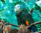 Amazona-de-San-Vicente-(3)