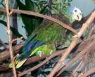 Amazona-de-San-Vicente-(4)