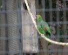 Amazona-diadema-(3)