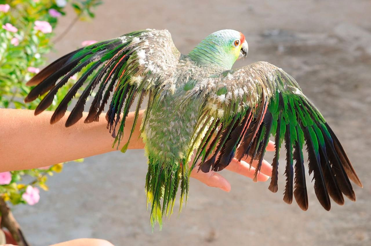 À Lores Rougesamazona Amazone AutumnalisOiseaux Exotiquesanimaux 3R54AjL