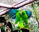 Amazona-vittata-(8)