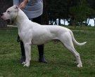 Dogo-argentino-1