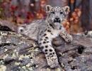 leopardo-de-las-nieves4