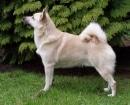 norwegianbuhund1