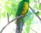 Papagayo-Enmascarado-(3)