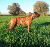Dogo-espanol-3