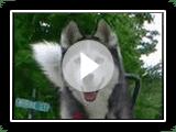 Siberian Husky läuft mit Fahrrad! Springer Bike mit Ihrem Hund