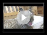 1. Cairn Terrier Welpen-Geburt (in HD)