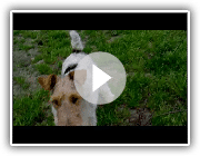 Polin (Wire-haired fox terrier)