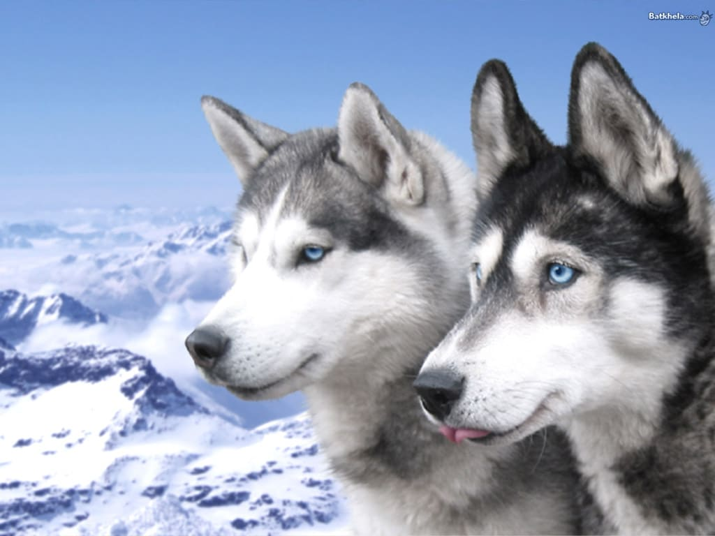 Siberian Husky Dogs Breeds Pets