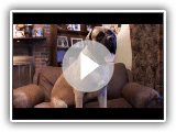 Dogs 101 - English Mastiff