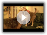 Rocky the Otterhound: Otterhound wrestling!