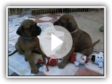 Rhodesian Ridgeback Puppy's Week 5