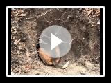 srpski trobojni gonic u lovu na lisicu