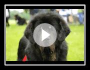 Tibetan Mastiff Do Khy Dogs Breeds Molossoid