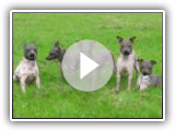 American Greenland Terrier