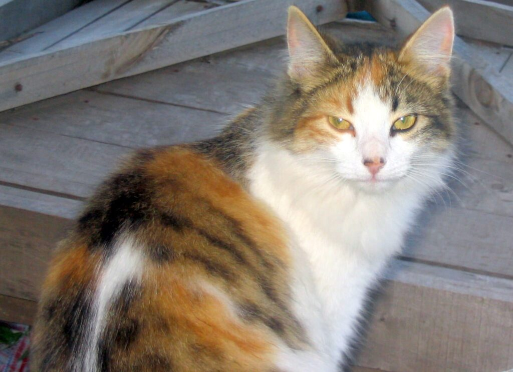 Cat breeds starting with C  History and characteristics  |Pets
