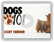 Dogs 101 - Silky Terrier