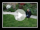 Bologneser Hund Caesar spielen im Garten