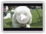 Hunde 101   :   Bichon Frise