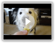 Amazing Dog Tricks von Paige der Border Collie!