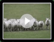 Die Working Sheepdogs ( Border Collies ) in der Ausbildung