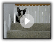 Jasper die Boston Terrier Welpen Freaking Out