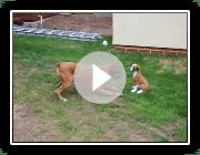 Boxer Hund - Crazy Fun!!