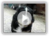 Berner Sennenhund welpen | Bernese Mountain Dogs Puppies