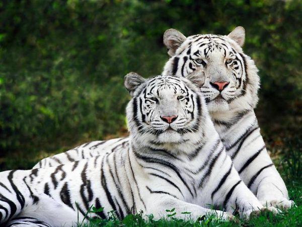 Weiße Tiger Cubs Preis 100000 Exotische Tiere Haustiere