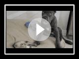 Cane Corso Welpen (Italienischer Mastiff) und ein Frettchen