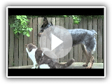 Blue Heeler and Cat Play Fight - EOMAD