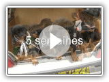 Announcement LOF shepherds of Beauce puppies sale