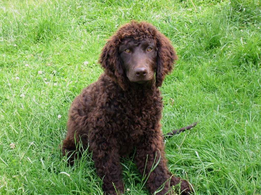 Irish Water Spaniel - Dogs breeds